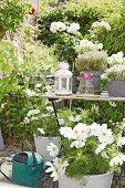 Weisse Cosmea und Kräuter auf Gartentisch