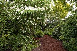 Weiss blühendes Gehölz und grüne Staudenpflanzungen an gemulchten Gartenwegen