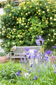 View of bench in front of yellow-flowering roes bush seen though purple iris