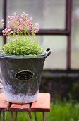 Pink saxifrage growing in vintage planter with metal sign on garden stool