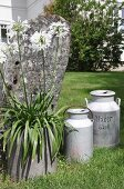 Vintage milk churns and white agapanthus in planter in front of weathered stone