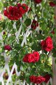 Red rose climbing over white trellis