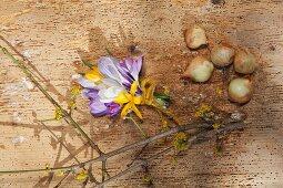 Krokussträußchen, Blütenzweig und Blumenzwiebeln auf Holzunterlage