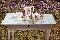 Krokusse mit Heu in nostalgischen Kaffeetassen auf Gartentisch