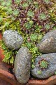 Houseleeks amongst pebbles