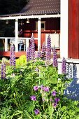 Flowering lupins outside traditional wooden house