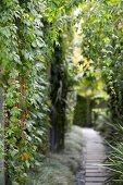 Wild wine on a high garden wall