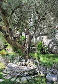 Stone bench under olive tree in Mediterranean garden