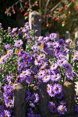 Two butterflies on purple Michaelmas daisies
