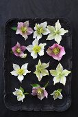 Hellebore flowers on various colours on black tray