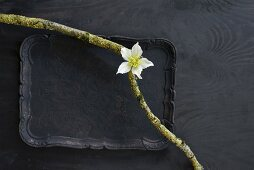 Two mossy branches and white hellebore on black tray