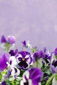 Purple violas against lilac background