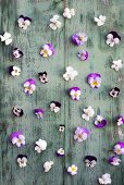 Violas on wooden surface with peeling paint