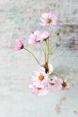 Edible cosmos flowers in vase (top view)