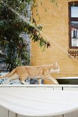 Cat walking along top of white wooden fence