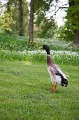 Indian runner duck on lawn
