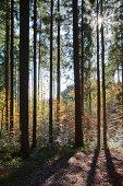 Sun shining through trees in golden autumn woods
