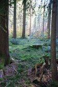 Moos und Baumstümpfe im herbstlichen Mischwald