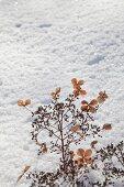 Getrocknete Hortensiendolde im Schnee