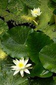 Teich mit blühenden, weissen Seerosen