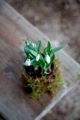 Snowdrops and moss on rustic wooden surface