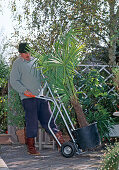 Man pushes Trachycarpus fortunei (hemp palm) with sack truck