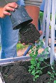 Planting Hellila pots with Lathyrus