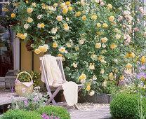 Rose 'Graham Thomas' (English fragrance rose)