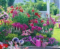 Pink bed with dahlia, gladiolus (dwarf gladiolus)
