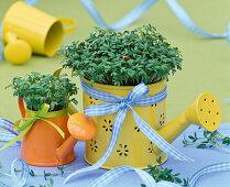 Cress in mini watering can