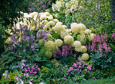 Shadow flowerbed with Hydrangea arborescens 'Annabelle'