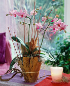 Phalaenopsis (Malay flower) in pot with banana leaves