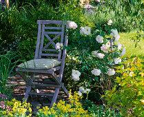 Blue folding chair next to Rosa 'Schneewittchen' (shrub rose)