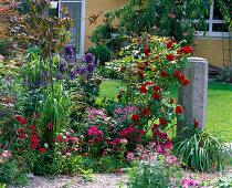 Rosa 'Grandhotel' (shrub rose), Cleome 'Senorita Rosalita'