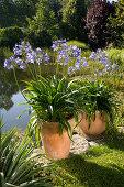 Agapanthus africanus (African lilies)