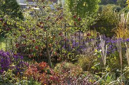 Malus 'Rewena' (apple tree) in the bed with aster