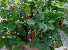Sowing of strawberries