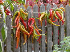 Hot peppers 'Lombardo' hung on string at the fence to dry