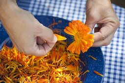 Petals of marigolds drying
