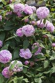 Art Garden Rosa 'Jacques Cartier'