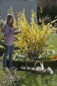 Girl revels Forsythia intermedia with white eggs