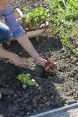 Woman planting salad (Lactuca) in the vegetable bed, basket with celery
