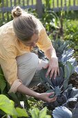 Woman checking red cabbage (Brassica) for pests