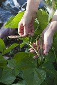 Woman picking bush beans (Phaseolus)