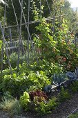 Vegetable garden with bush beans and fiery beans (Phaseolus)