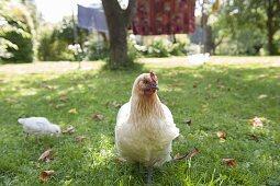 Weisses Huhn mit Küken