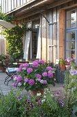 Kübel mit Hydrangea (Hortensie) und Sitzgruppe auf Holzterrasse am Haus