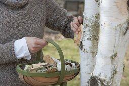 Peeling birch bark for decorative purposes
