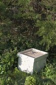 Bees swarm in the spring