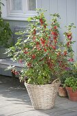 Balcony with red currants